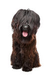 Briard , Berger de Brie, Berger Briard. Briard dog in front of a white background Royalty Free Stock Images