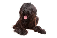 Briard , Berger de Brie, Berger Briard. Briard dog in front of a white background Stock Image