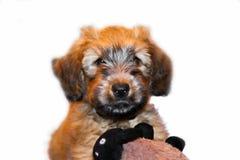 Briard bonito do cão de cachorrinho isolado no branco Imagem de Stock