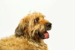 Briard do cão no branco Fotos de Stock Royalty Free