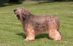 Briard dog. Beautiful young briard standing on green grass Stock Image