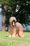 Briard dog. Beautiful young briard standing on green grass Royalty Free Stock Image