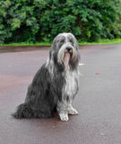 Briard dog. Briard is ancient breed of large herding dog, originally from France Stock Images