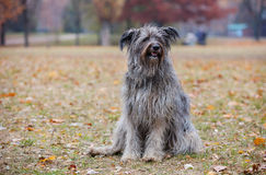 Briard dog in autumn forest. Royalty Free Stock Photography