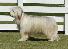 Briard dog. A beautiful white Briard dog standing on the lawn. This breed of dog was also famous for playing in Dennis the menace movie Stock Image