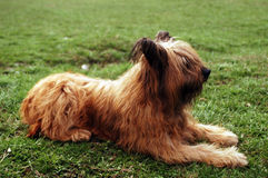 Briard Stock Images