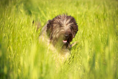 Briard dog Stock Photos