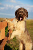 Briard dog Royalty Free Stock Photo