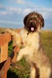 Briard dog. Pale yellow briard dog and wood Royalty Free Stock Photo