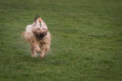 Briard Dog. A briard dog running through a meadow Royalty Free Stock Photography