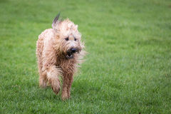 Briard Dog. A briard dog running through a meadow Royalty Free Stock Image