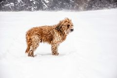 Briard dog in snowstorm. Big french shepherd dog briard with fluttering hair standing in snowstorm in snowdrift and guard Stock Image