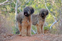 Briard Dogs. Pedigree Dogs French Breed Briard Royalty Free Stock Image