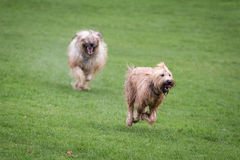 Briard Dogs. Two briard dogs running through a meadow Royalty Free Stock Image