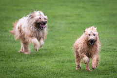 Briard Dogs. Two briard dogs running through a meadow Royalty Free Stock Photography