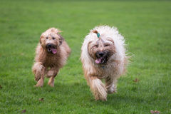Briard Dogs. Two briard dogs running through a meadow Stock Photography