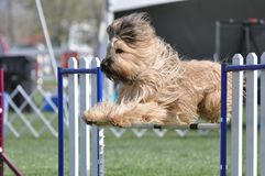 Briard In Flight over Agility Fence Stock Image