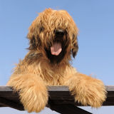 Briard, french shepherd Royalty Free Stock Image