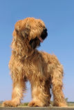 Briard, french shepherd Stock Photos