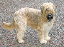 Briard Hund 2 Stockfotos
