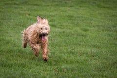 Briard-Hund Lizenzfreie Stockfotos