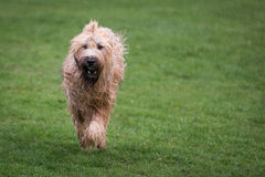 Briard-Hund Lizenzfreie Stockbilder