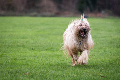 Briard hund Royaltyfri Fotografi