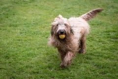 Briard hund som spelar med bollen Royaltyfri Bild