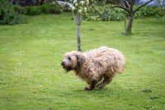 Briard hundspring Royaltyfria Bilder