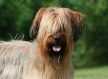 Briard Portrait Stockbild
