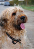 Briard Stock Photography
