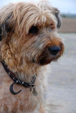 Briard. Portrait of a ten years old briard french shepherd dog Royalty Free Stock Photo