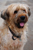 Briard. Portrait of a ten years old briard french shepherd dog Stock Photos