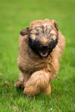 Briard Pup Royalty Free Stock Images