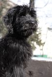 Briard puppy. Portrait of black briard puppy Royalty Free Stock Photography