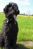 Briard puppy. Portrait of black briard puppy (6 month old Stock Photos