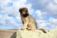 Briard puppy Royalty Free Stock Photos