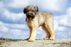 Briard puppy. Little pale yellow briard puppy Stock Photo