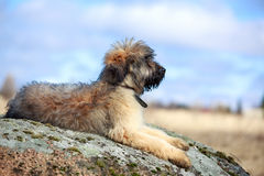 Briard puppy Stock Photo