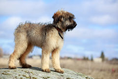 Briard puppy. Little pale yellow briard puppy Royalty Free Stock Photos