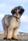 Briard puppy Royalty Free Stock Image