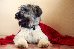 Briard puppy. Little pale yellow briard puppy Royalty Free Stock Photo