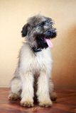 Briard puppy. Little pale yellow briard puppy Royalty Free Stock Photography