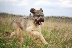 Briard puppy. Little pale yellow briard puppy Stock Image