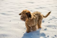 Briard puppy on snow. Fluffy cute 4 month ´s briard puppy on snow stock photo