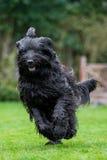 Briard running. Across garden lawn Stock Image