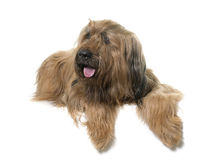 Briard in studio Royalty Free Stock Photography
