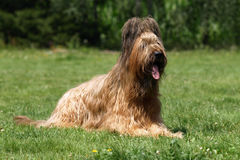 Briard in the summer. Fawn briard female lying in the grass Stock Photography