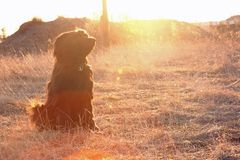 Briard in sunset Royalty Free Stock Image