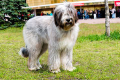 Briard waits. The Briard of the gray color is in the park Royalty Free Stock Images